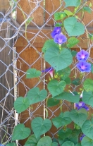 morningglories1